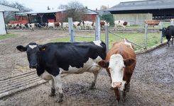 Un emploi en élevage laitier